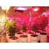 Cannabis cultivation dedicated LED Grow Light